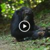 Tra gli scimpanzé di Jane Goodall con Google Street View